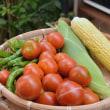 畑の恵み満喫!甘いトウモロコシとトマト