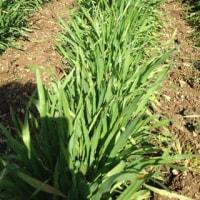 小麦は生長しております。