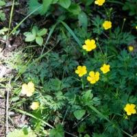 森の中の黄色い輝き ハイキンポウゲ