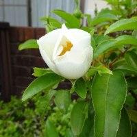 ブータンナニワイバラが咲きだした。
