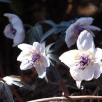 春の妖精・・・・・