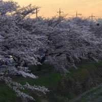 南浅川沿いの桜
