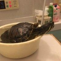 お風呂ピーちゃん