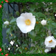 白いバラがいっぱい咲きました