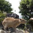 ☆おねだり上手なカピバラさんたち〜伊豆シャボテン動物公園〜
