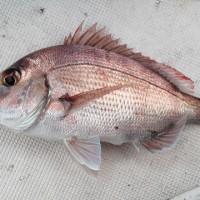 太刀魚調査の巻 10月9日 15日
