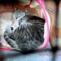 猫小屋のチビ一家は、ますます眠い&サクラの次は、ヤマフジがきれい~♪