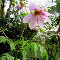 木立(こだち)ダリアという花