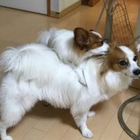 10/26  今日のパピ子といちご