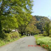 色づく桜並木
