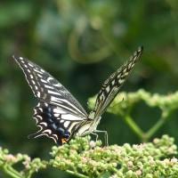 アゲハチョウ(揚羽蝶)
