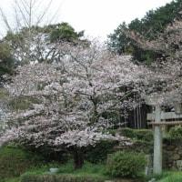 大好きな桜風景