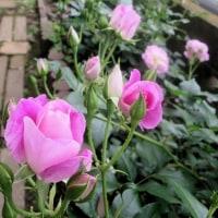 oneboke  今日の庭  バラ アイスバーグ とシジュウカラ巣作り そして もぐら