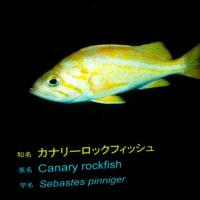 【画像あり】かなりロックな魚見つけたwwwwwwwww