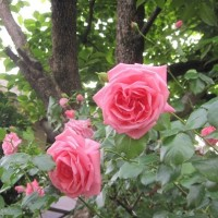 薔薇を褒めよう