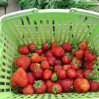 イチゴ・苺・いちご(その2)