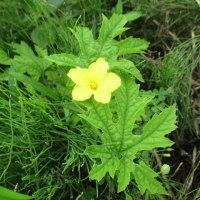 悲喜こもごもと梅雨の花:ツルマンネングサ・ヤマアワなど