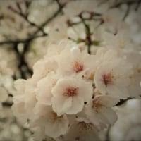 桜、やっと満開
