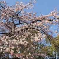 枝垂れ桜 「千代鶴姫」咲く
