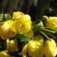 季節の花「柊南天(ひいらぎなんてん」