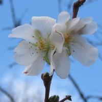 白子のリスと冬桜 / Albina sciuro & vintra ĉerizfloro