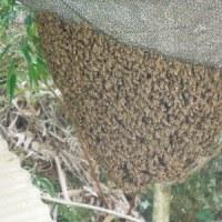 時期はずれのニホンミツバチの孫分蜂。ぶじ捕獲成功しました。