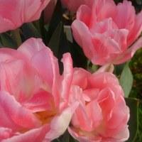 廻るもの 春の花(チューリップ)