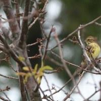 小鳥たちの中には、アオジも混じっていた。