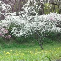 桜花あるのか