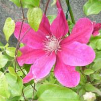 クレマチスと小手毬の花