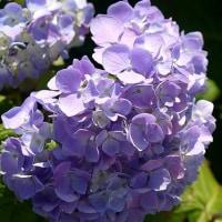 そろそろ紫陽花も・・・