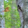 アカショウビンを見てきました、八東ふる里の森