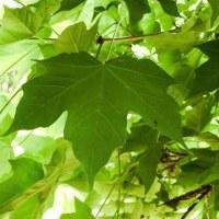 ハンカチノキの葉っぱ