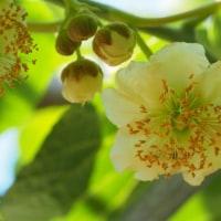 「キウイフルーツ」開花し始めました。