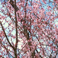 コヒガンザクラ、ヨウコウザクラは開花直前