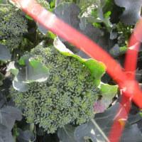 ブロッコリーの収穫が、続きます。