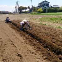 関根農場へ里芋の種芋を植え付けに行く。