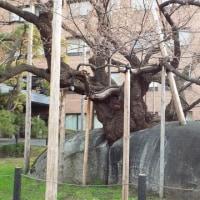 盛岡の桜開花