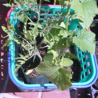 新種のトマト