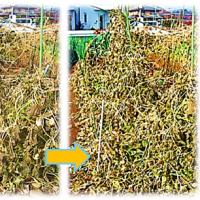 隼人瓜の 最終収穫
