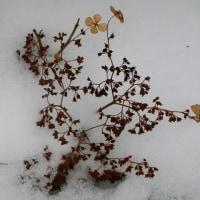 雪の上の落し物ノリウツギの果実