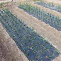 タマネギとニンニクの雑草除去
