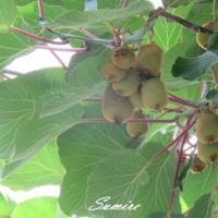 シジュウカラと果実
