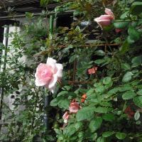 咲き始めてます バラの「羽衣」