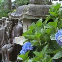 光徳寺に咲く紫陽花