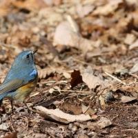 ルリビタキ, Red-flanked Bluetail