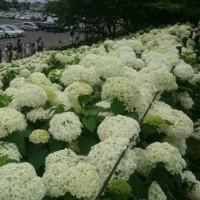 梅雨の日の休みは紫陽花を見に権現堂まで行きました!