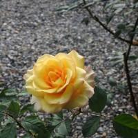 きょうの薔薇1117