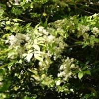 林縁のマルバアオダモに白い花