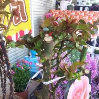バラの大苗❗大輪のマーガレット❗今鶴見西口ふれあい館前で販売中